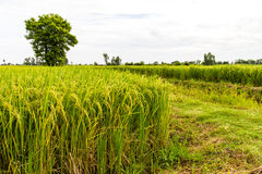 Trees grown paddy Stock Images