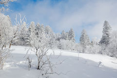 The trees with hard rime and snowfield Stock Images