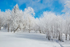 The trees with hard rime on the snowfield Royalty Free Stock Image