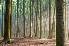 Through the Trees - hazy forest morning. Sunny morning in an early autumn forest; sun rays are visible in a light haze Stock Photography