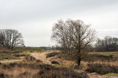 Trees in a heather landscape in the winter season. Trees in a colorful Dutch heather landscape in the winter season Royalty Free Stock Images