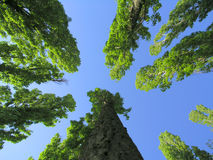 Trees in the high. On blue sky Royalty Free Stock Photo