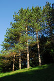 Trees on a hill. Looking up a hill at a row of pine trees royalty free stock image