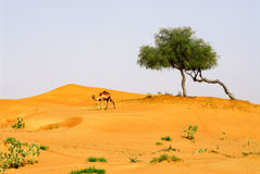 Trees on the hill. A view of a camel walking away from the trees on the hill Royalty Free Stock Image