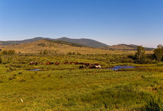 Trees&hills, blue sky, a herd of horses, creek, summertime, Siberia, Russia, Hakasia Royalty Free Stock Photography