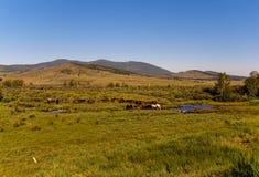 Trees&hills, ciel bleu, un troupeau de chevaux, crique, été, Sibérie, Russie, Hakasia Photographie stock libre de droits