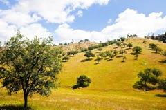 Trees on a Hillside. Trees randomly dot a golden hillside royalty free stock photography