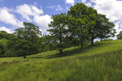 Trees on hillside. In meadow of wild flowers Royalty Free Stock Image