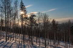 Trees on a hillside in winter at sunset royalty free stock photography