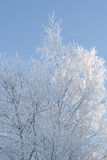 trees and hoarfrost Royalty Free Stock Photography