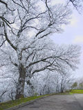Trees in hoarfrost Royalty Free Stock Photos