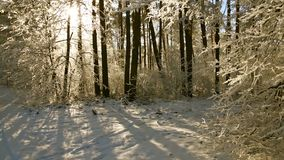 Trees in the hoarfrost against the blue sky. snow falls. Snow-covered trees in the park against the blue sky stock video