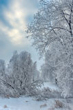 Trees in hoarfrost close Royalty Free Stock Images