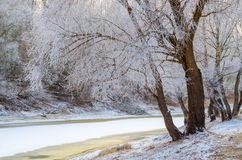 Trees in hoarfrost on the river bank in December Stock Images