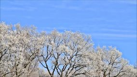 Trees in hoarfrost stock video footage