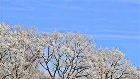 Trees in hoarfrost. Winter landscape, trees in hoarfrost stock video footage