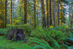 Trees in Hoh Rainforest Royalty Free Stock Photography