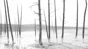 Trees in a hot spring in Yellowstone National Park, Wyoming royalty free stock photos