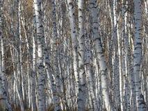 Trees i en skog Arkivfoto