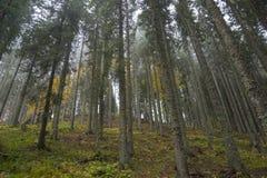 Trees i mist Arkivfoto