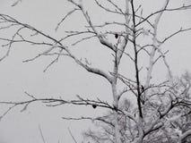 Trees i snowen Arkivfoton