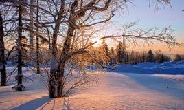 Trees i snowen Arkivfoto