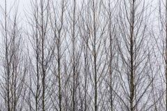 Trees i vinter Royaltyfria Foton
