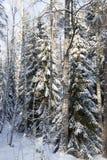 Trees i vinter Arkivfoto