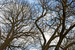 Trees i vinter Royaltyfri Foto