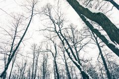 Trees i vinterskogen Royaltyfria Bilder