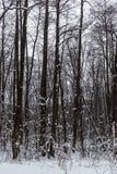 Trees i vinterskogen Arkivfoton