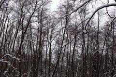 Trees i vinterskogen Arkivbilder
