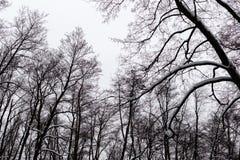 Trees i vinterskogen Arkivfoto