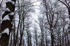 Trees i vinterskogen Royaltyfri Foto