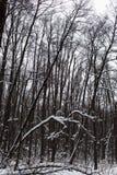 Trees i vinterskogen Arkivbild