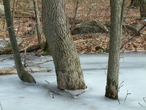 Trees in the ice. Some trees frozen in the ice in the middle of winter Royalty Free Stock Images