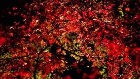 Trees are illuminated at night. Colorful autumn leaves on trees are illuminated at night stock footage