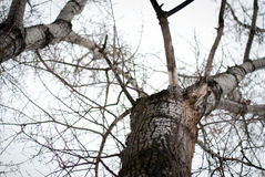 Trees. Imposing trees in the cold season Royalty Free Stock Photo