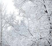 Trees In Snow Royalty Free Stock Images