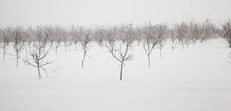 Trees In The Winter Royalty Free Stock Image