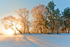 Trees in inei and sun. Stock Photography