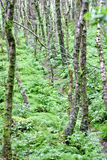 Trees in an Irish forest, County Wicklow, Ireland Royalty Free Stock Photo