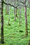 Trees in an Irish forest, County Wicklow, Ireland Royalty Free Stock Photography