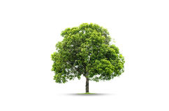 Trees isolated on white background Stock Photos