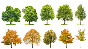 Trees isolated white background Oak maple linden birch. Trees isolated on white background. Oak, maple, linden, birch. Green andyellow leaves Stock Photography