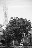 Trees and A Ladder Stock Images