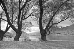 Trees at Lake Ohau, New Zealand (mono) Royalty Free Stock Photo