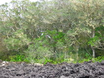 Trees & lava rock Royalty Free Stock Images