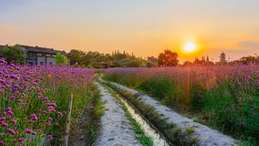 Trees and lavender field a sunset near the old town of Wuzhen, Zhejiang, China stock photo