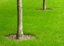 Trees on the lawn. Well done lawn with trees Royalty Free Stock Photo